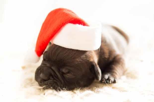dog-christmas-xmas-bulldog